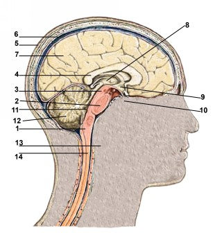 Cerebro Inglés.jpg