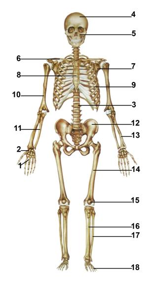 Esqueleto02 ingles.jpg