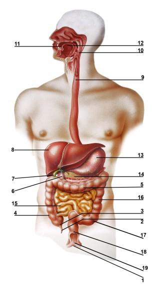 Aparato digestivo Inglés.jpg
